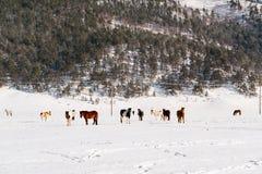 Gregge dei cavalli che pascono su un pascolo invernale Immagine Stock Libera da Diritti