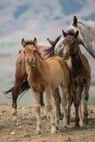 Gregge dei cavalli con i giovani puledri Immagini Stock Libere da Diritti
