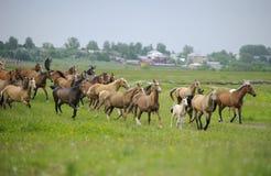 Gregge dei cavalli di Akhal-teke Immagini Stock
