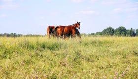 Gregge dei cavalli di gidran che mangiano erba falciata fresca sul prato ungherese Fotografia Stock