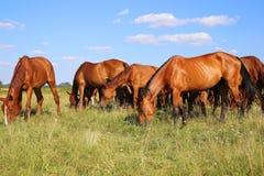 Gregge dei cavalli di gidran che mangiano erba verde fresca sul prato ungherese Immagine Stock