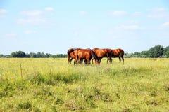 Gregge dei cavalli di gidran che mangiano estate fresca dell'erba verde Immagine Stock