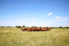 Gregge dei cavalli di gidran che mangiano estate fresca dell'erba verde Immagini Stock