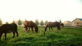 Gregge dei cavalli e dell'asino che pascono e che mangiano erba al campo sull'allevamento stock footage