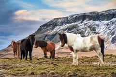 Gregge dei cavalli islandesi immagini stock