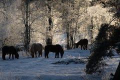 Gregge dei cavalli islandesi in ghiaccio ed in neve Immagine Stock Libera da Diritti
