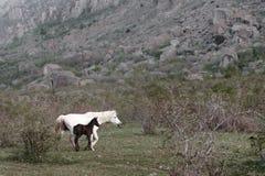 Gregge dei cavalli nelle montagne fotografie stock