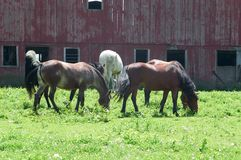 Gregge dei cavalli in pascolo   Immagini Stock Libere da Diritti
