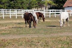 Gregge dei cavalli in recinto per bestiame Fotografie Stock