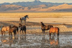 Gregge dei cavalli selvaggii ad uno stagno del deserto Fotografia Stock Libera da Diritti