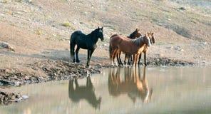 Gregge dei cavalli selvaggii che riflettono nell'acqua mentre bevendo al waterhole nella gamma del cavallo selvaggio delle montag Immagini Stock