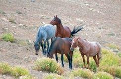 Gregge dei cavalli selvaggii sul pendio di collina nella gamma del cavallo selvaggio delle montagne di Pryor nel Montana U.S.A. Immagine Stock Libera da Diritti