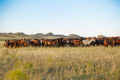 Gregge dei cavalli in steppa kazaka Fotografie Stock