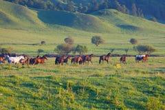 Gregge dei cavalli su un pascolo di estate Fotografia Stock Libera da Diritti