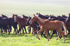 Gregge dei cavalli su un pascolo di estate Fotografie Stock Libere da Diritti