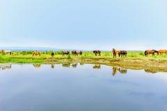 Gregge dei cavalli su un prato vicino ad acqua immagine stock