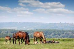 Gregge dei cavalli sul pascolo Fotografie Stock