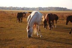 Gregge dei cavalli sulla natura nel tramonto Fondo del campo degli animali immagine stock