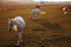 Gregge dei cavalli sulla natura nel tramonto Fondo del campo degli animali fotografia stock