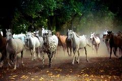 Gregge dei cavalli sulla strada del villaggio Fotografie Stock Libere da Diritti