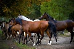 Gregge dei cavalli sulla strada del villaggio Fotografia Stock