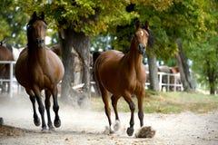 Gregge dei cavalli sulla strada del villaggio Immagini Stock