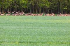 Gregge dei cervi del campo verde vicino alla foresta - vita libera fotografia stock libera da diritti