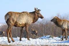 Gregge dei cervi nell'inverno Fotografia Stock Libera da Diritti