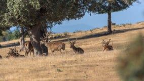 Gregge dei cervi selvaggi nei campi un giorno soleggiato immagine stock libera da diritti