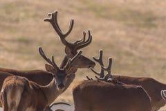 Gregge dei cervi selvaggi nei campi un giorno soleggiato immagine stock
