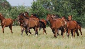 gregge dei foals Fotografia Stock Libera da Diritti
