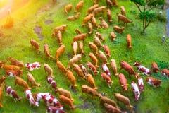 Gregge dei giocattoli miniatura delle mucche su un prato che coltiva paesaggio, vista superiore Fotografia Stock Libera da Diritti
