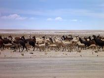 Gregge dei lama al deserto di altiplano Fotografie Stock