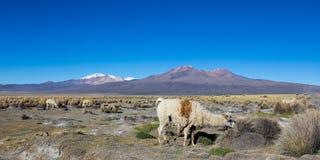 Gregge dei lama andini, pascente negli altopiani delle Ande Immagine Stock Libera da Diritti