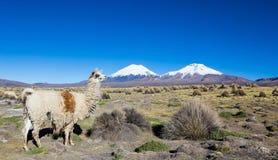 Gregge dei lama andini, pascente negli altopiani delle Ande Immagini Stock