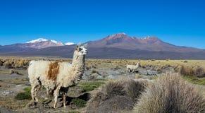 Gregge dei lama andini, pascente negli altopiani delle Ande Immagine Stock