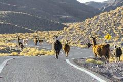 Gregge dei lama che attraversano la strada, Cile Immagine Stock Libera da Diritti
