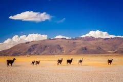 Gregge dei lama che camminano in montagne boliviane Immagine Stock