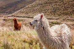 Gregge dei lama che mangiano pascolo vicino al vulcano di Chimborazo Immagini Stock Libere da Diritti