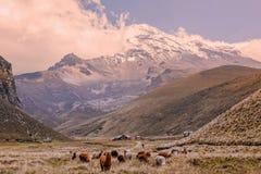 Gregge dei lama che pascono al vulcano di Chimborazo Immagini Stock