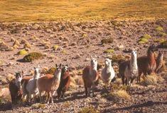 Gregge dei lama che pascono in montagne boliviane Immagini Stock