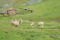 Gregge dei lama nell'azienda agricola Fotografia Stock Libera da Diritti