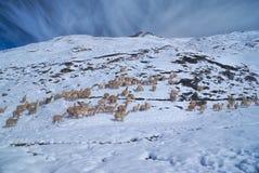 Gregge dei lama nelle Ande Fotografie Stock Libere da Diritti