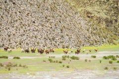 Gregge dei lama sul prato della montagna Immagini Stock Libere da Diritti