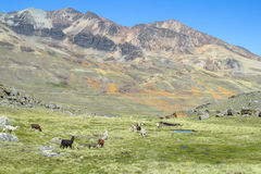 Gregge dei lama sul prato della montagna Fotografie Stock Libere da Diritti