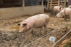 Gregge dei maiali all'azienda agricola di allevamento del maiale Immagini Stock Libere da Diritti