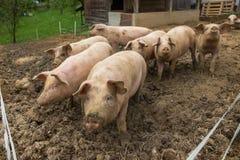 Gregge dei maiali all'azienda agricola di allevamento del maiale Immagine Stock Libera da Diritti