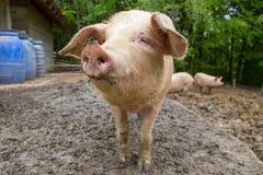Gregge dei maiali all'azienda agricola di allevamento del maiale Immagini Stock