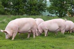 Gregge dei maiali che pascono alla bio- fattoria degli animali di eco Fotografie Stock Libere da Diritti