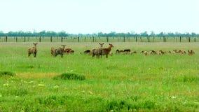 Gregge dei mammiferi selvatici nella steppa archivi video